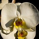 The White Orchid by Luís Lajas