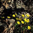 Alpine flowers conquer rocks by LichenRockArts