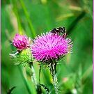 Bee on Thistle Flower by DenverCool