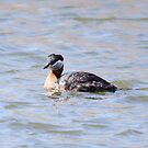 Red Necked Grebe by Alyce Taylor