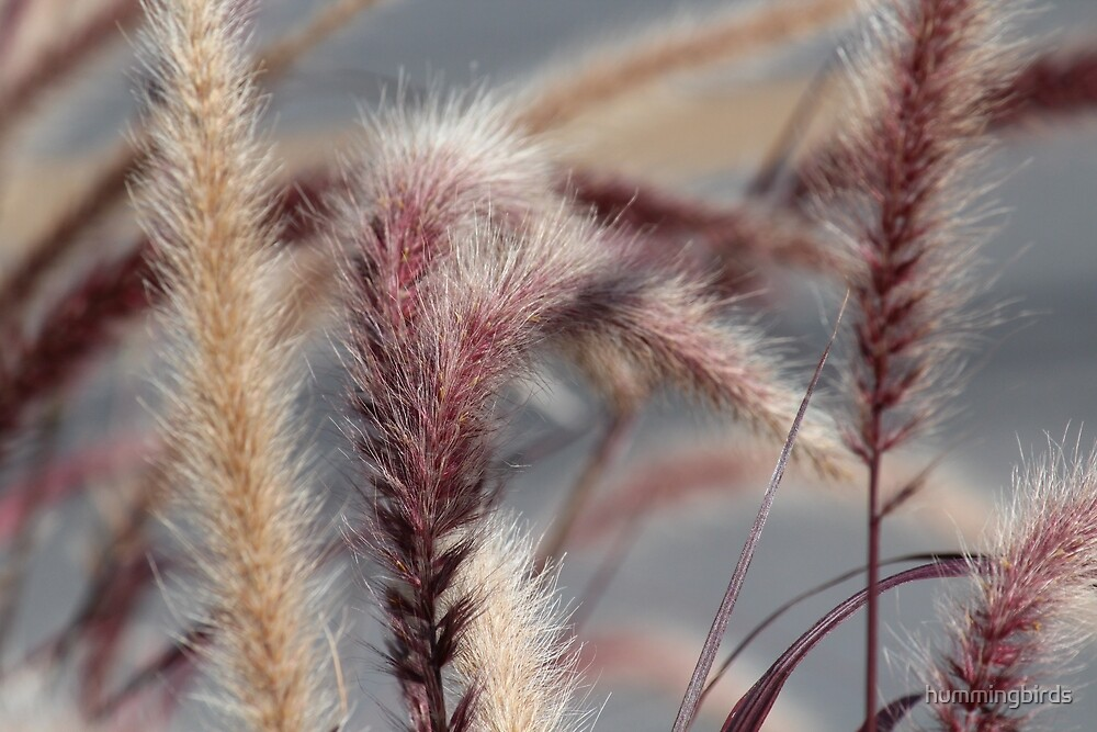 Ornamental Grasses by hummingbirds