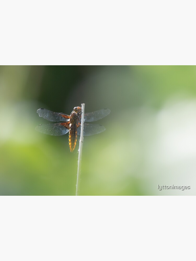 Broad bodied Chaser female by lyttonimages
