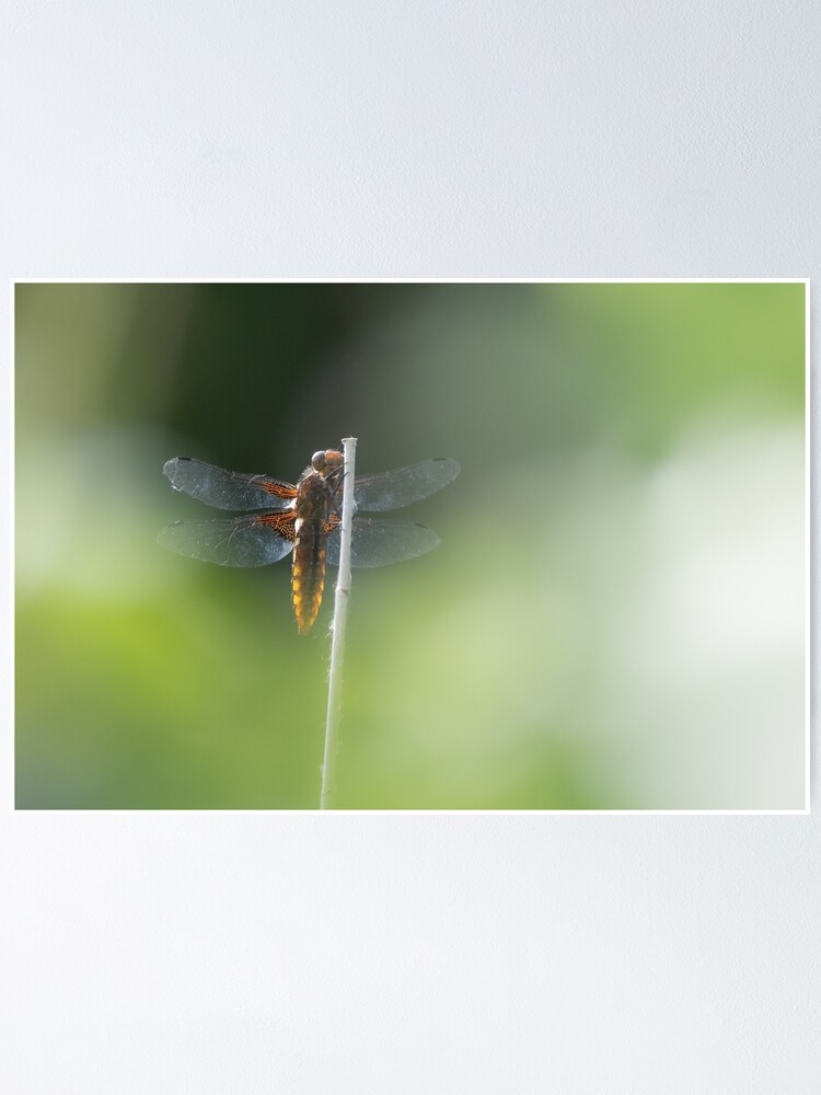 Alternate view of Broad bodied Chaser female Poster