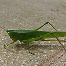 Large Tropical Cricket by Robert Abraham
