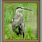 Great Blue Heron by glink