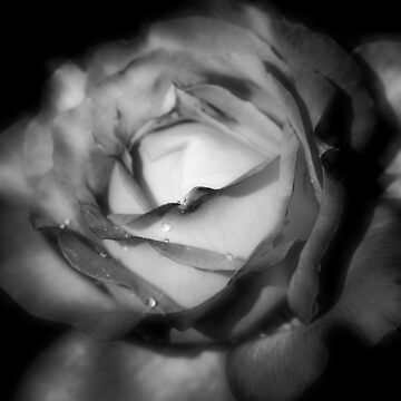 Black and White Rose by Dai-Boo
