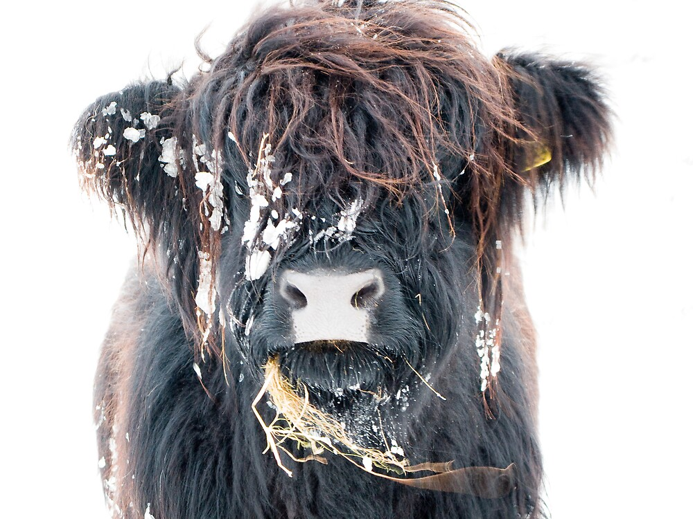 Highland Cow in Snow by dlsmith