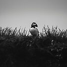 Puffin by Patrice Mestari