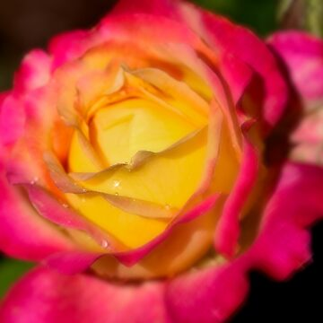 Pink and Yellow Rose by Dai-Boo