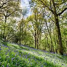 Balcombe Bluebells by Unwin Photography