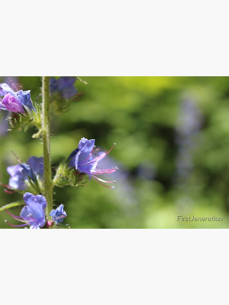 Blueweed Flower by FirstJeneration