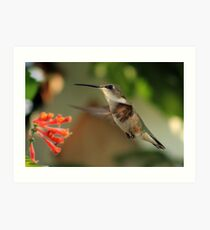 Hummingbirds and Honeysuckles Art Print