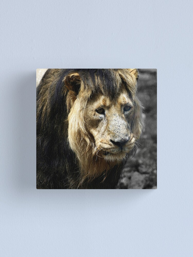 Alternate view of Ashok the Asiatic Lion Canvas Print