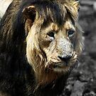 Ashok the Asiatic Lion by Wayne Gerard Trotman