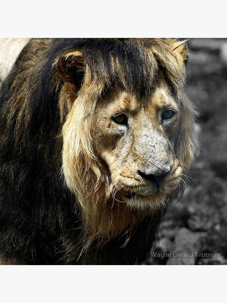 Ashok the Asiatic Lion by redmoondragon
