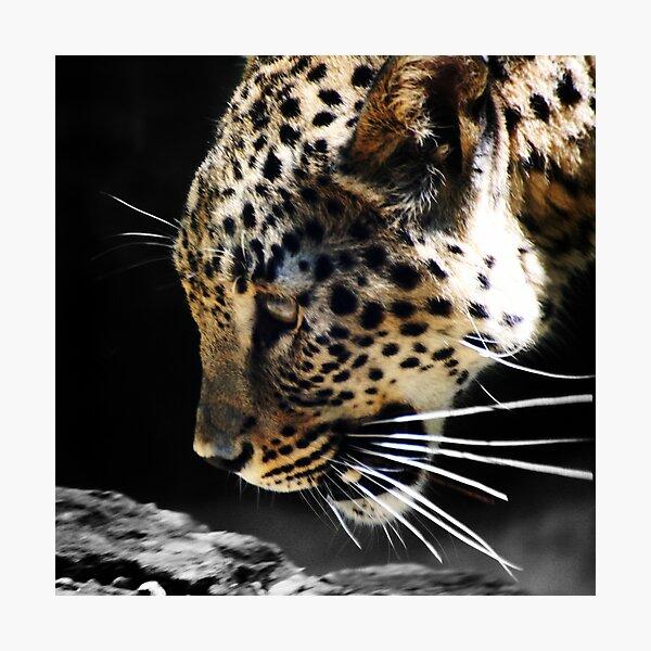 Persian Leopard Photographic Print