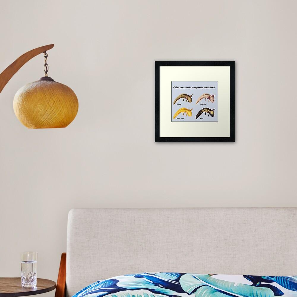 Axolotl Color Variation Poster Framed Art Print