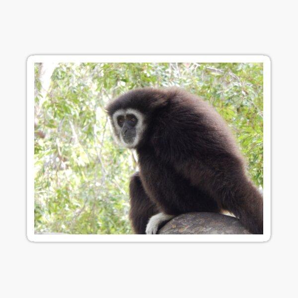 White Handed Gibbon 002 Sticker