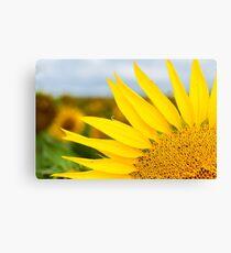 Sunflower Petals - Nobby, Australia Canvas Print