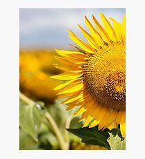Sunflower - Nobby, Australia Photographic Print