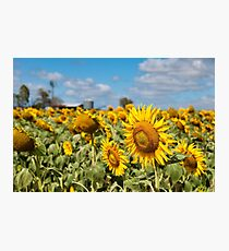 Sunflower Fields - Nobby, Australia   Photographic Print