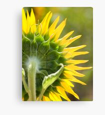 Close up of Sunflower Back - Nobby, Australia Metal Print