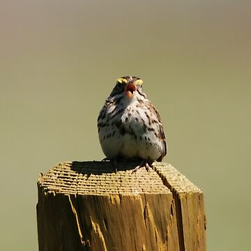 Savannah Sparrow by alycetaylor