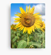 Sunflower - Nobby, Australia Metal Print