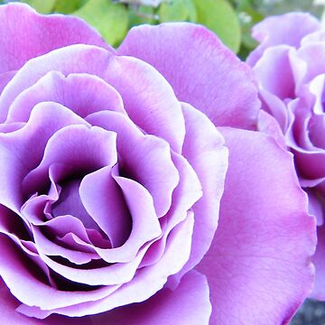 Gorgeous Purple Rose by TeAnne