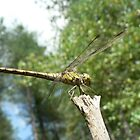 Common Darter Dragonfly, Sympetrum striolatum by EmilyJaneArt