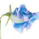 Blue Sweet Pea by Ann Garrett