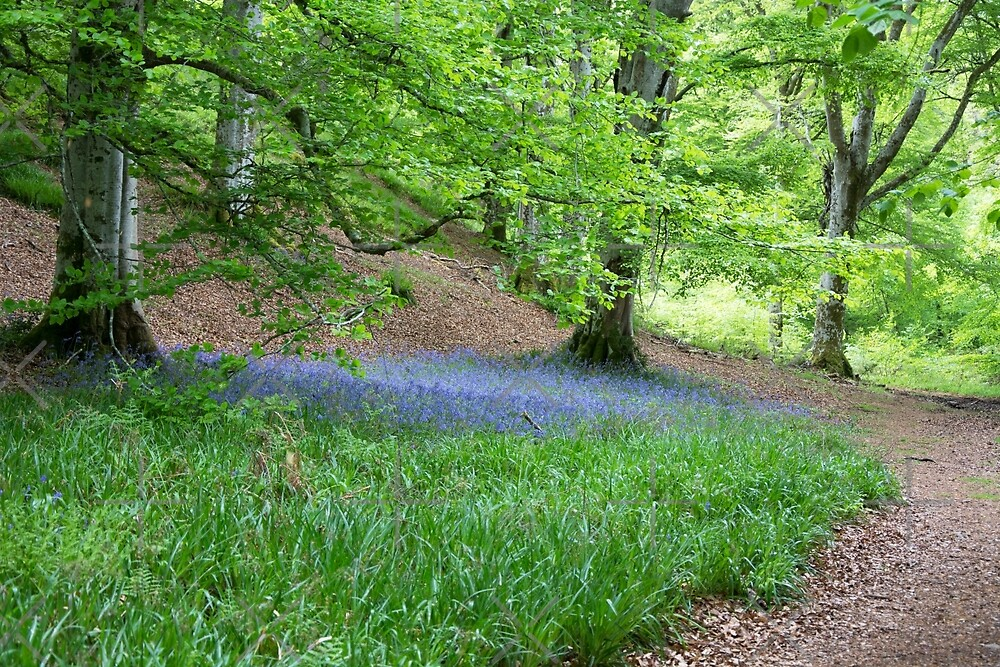 Bluebells under a beech tree by SiobhanFraser