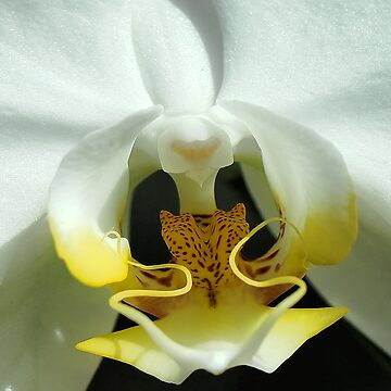 Center of an Orchid by Dai-Boo
