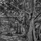 Banyon Trees in the Park  by John  Kapusta