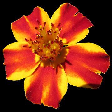 wunderschöne Blume in den Farben gelb und rot von rhnaturestyles