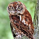 Portrait of a Screech Owl by Lanis Rossi