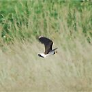Lapwing by dougie1
