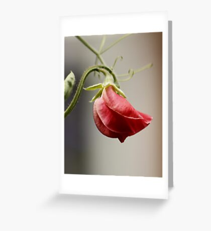 My First Sweetpea this Year Greeting Card