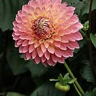 Pink Dahlia by LydiaBlonde