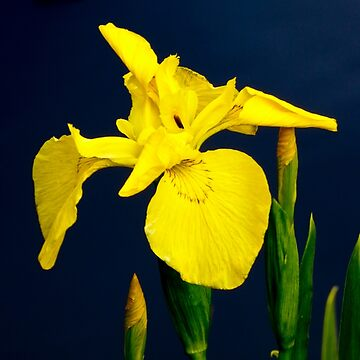 YELLOW IRIS by elainebawden