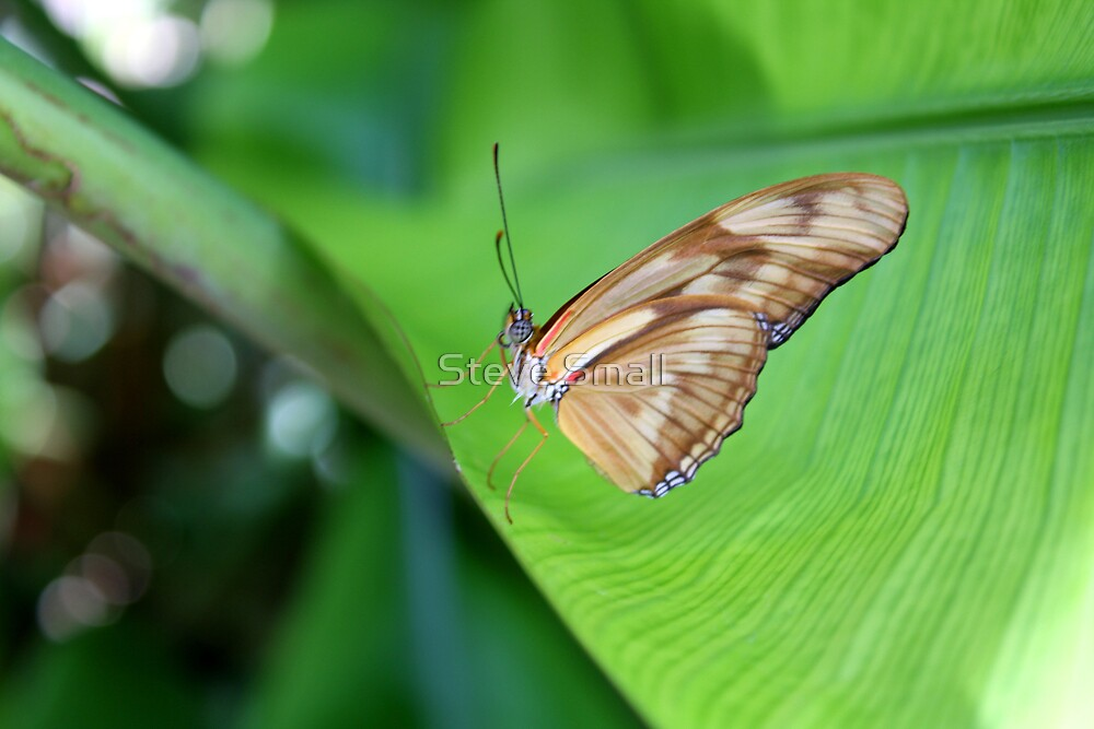 Butterfly by Steve Small