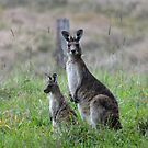 Kangaroo and Joey by TheaShutterbug