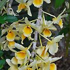 An Orchid Drift by Penny Smith