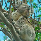 Otway Koala by Penny Smith