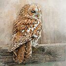 Tawny Owl by Brian Tarr
