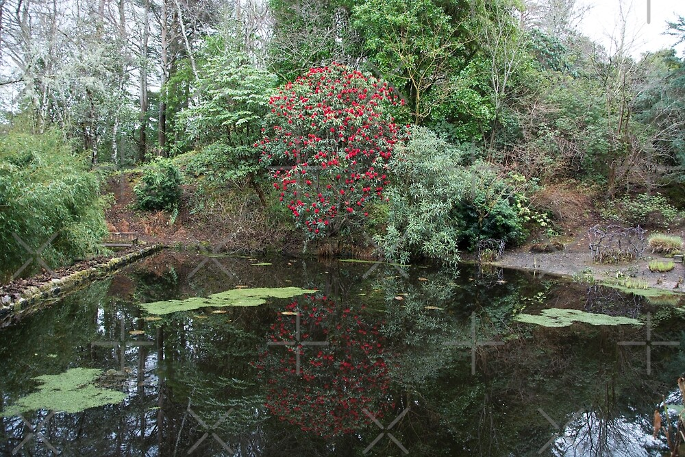 Reflected Rhododendron by SiobhanFraser
