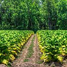 Tobacco Road by TJ Baccari Photography