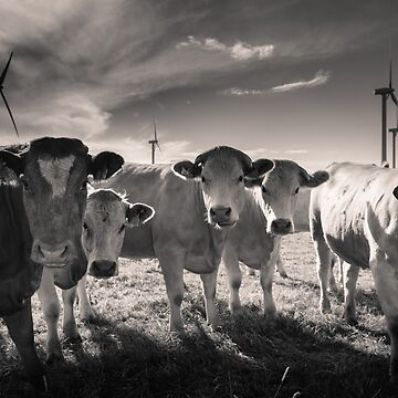 Carnsore Point Cows by shaymurphy