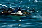 Play Time - Orca Whale by Barbara Burkhardt