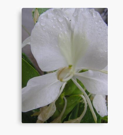 White ginger flower with Raindrops. Canvas Print